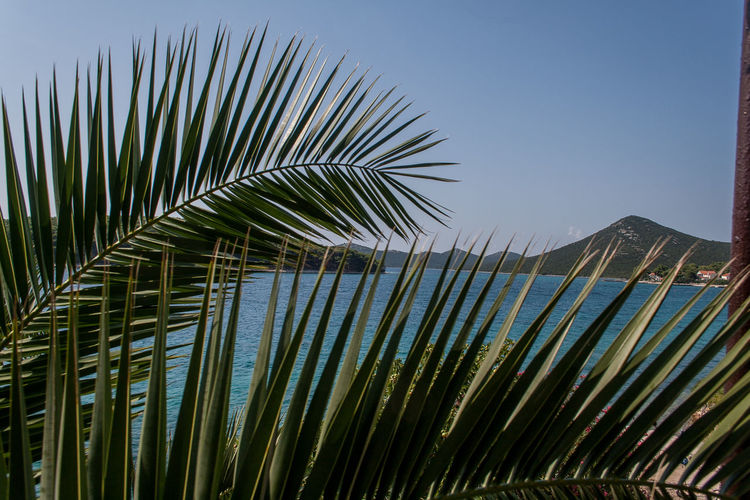 Croatia Otok Molat Beauty In Nature Clear Sky Close-up Dalmatia Day Frond Growth Leaf Nature No People Outdoors Palm Frond Palm Leaf Palm Tree Sky Tree