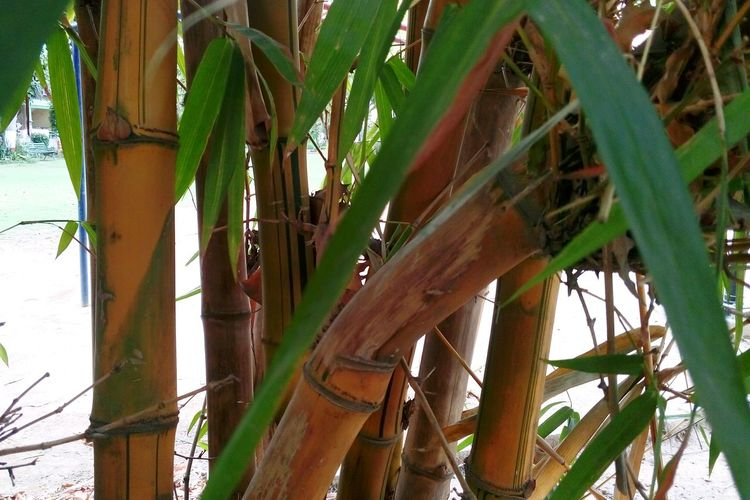 Woods Bamboo Bamboo - Plant Beauty In Nature Mobile Photography Beauty In Nature Outdoors Natural Beauty Greenary SSClickPics SSClicks SSClickpix