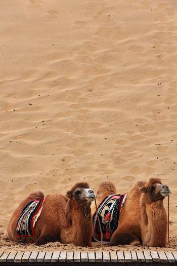 1047 bactrian camels waiting for tourists-ride around the badain east lake-badain jaran desert-china
