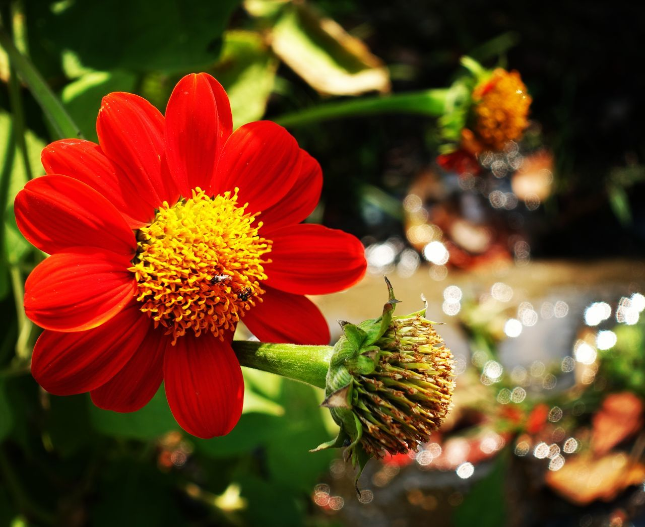 flower, plant, growth, nature, beauty in nature, fragility, freshness, focus on foreground, no people, petal, close-up, outdoors, red, flower head, blooming, day