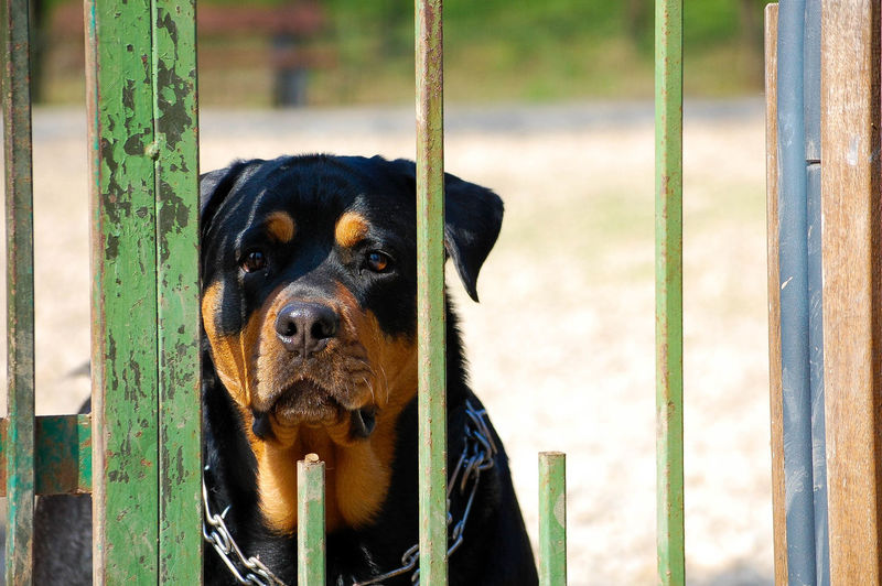 Rottweiler seen through damaged fence
