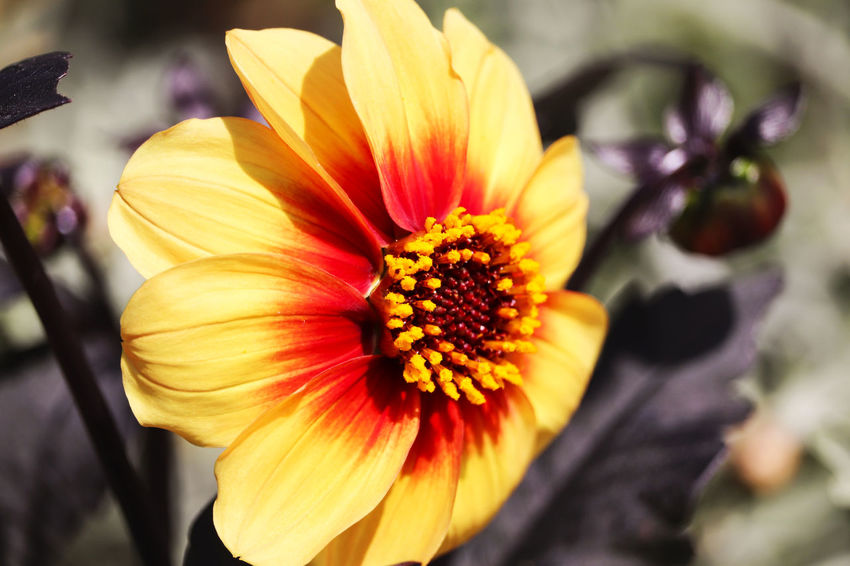 Yellow flower. Orange Beauty In Nature Close-up Day Flower Flower Head Flowering Plant Focus On Foreground Fragility Freshness Gazania Growth Inflorescence Nature No People Outdoors Petal Plant Pollen Selective Focus Spring Vulnerability  Yellow The Still Life Photographer - 2018 EyeEm Awards