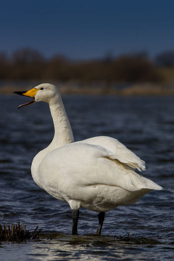 Animal Themes Animal Wildlife Animals In The Wild Bewick's Swan Bird Bird Migration Cygnus Bewickii Cygnus Columbianus Day Endagered Species No People One Animal Outdoors Side View Water Wintertime