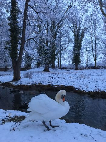 - The Swan in Winter - Wildlife Beautyinnature  Wintertail Swan Cold Temperature White Color Animal Wildlife Nature Beauty In Nature Outdoors Water Bird Frozen