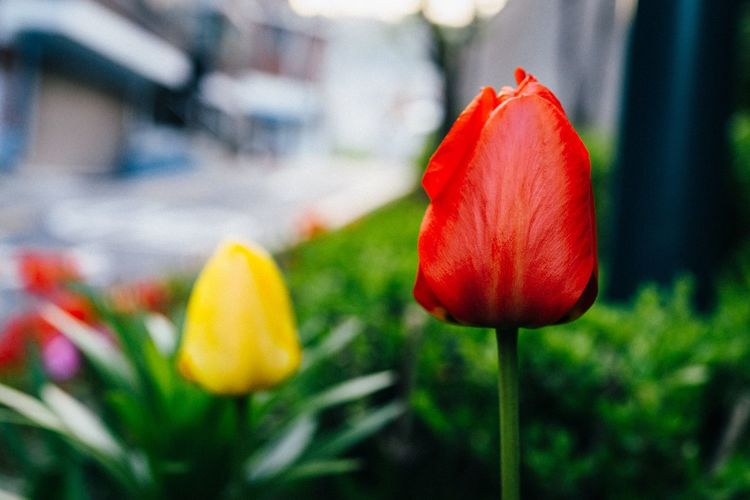 Flower Petal Freshness Flower Head Fragility Beauty In Nature Growth Red Blooming Nature Plant Tulip Close-up Focus On Foreground No People Outdoors Day Yellow Springtime EyeEm Korea Macrolens