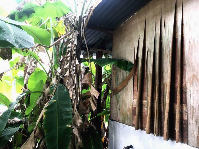 Memori yang usang mengekori langkah, diusir dibuang namun tak terpadam. Village Photography Village Life Old House Houses And Homes Old Building  Old Buildings Banana Leaf Banana Tree Leaf Day Outdoors Plant Built Structure Architecture No People Nature Building Exterior Growth Green Color