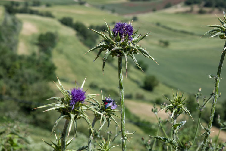Close-up of purple thistle flower on field
