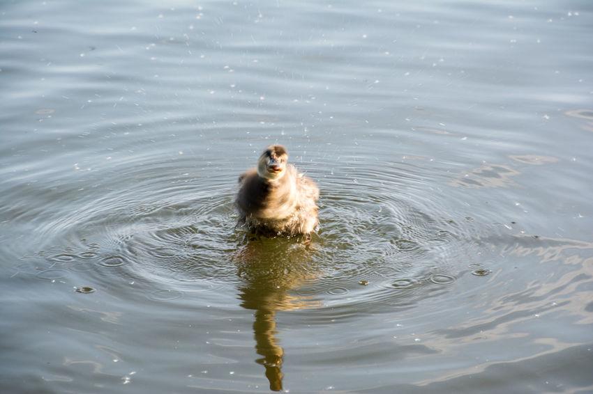 Animal Animal Themes Day Duck Duckling Lake Mammal Nature No People Outdoors Rippled Shake Water Waterfront