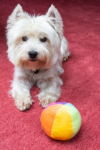 Animal Hair Ball Canine Dog Domestic Domestic Animals Hair Indoors  Looking At Camera Mammal No People One Animal Pets Playing Dogs Portrait Red Small Vertebrate West Highland White Terrier Westie