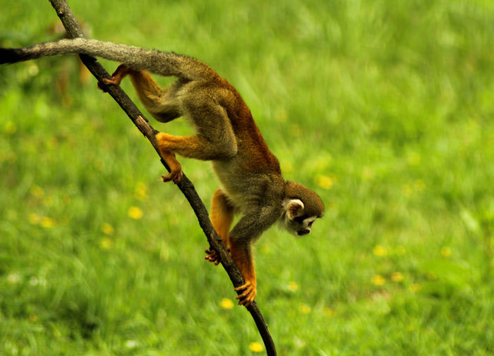 Monkeys Zoo American Fauna Animal Animal Themes Animal Wildlife Animals In The Wild Fauna Full Length Green Color Mammal Monkey Nature No People One Animal Outdoors Plant Primate Saimiri Sciureus Side View Squirrel Monkey Tree Vertebrate Wilderness Wildlife