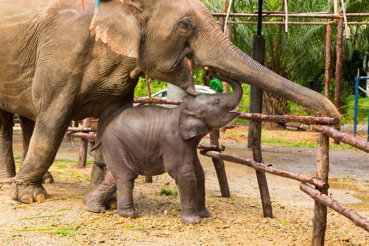 African Elephant Animal Animal Themes Animal Trunk Animals In The Wild Asian Elephant Care Day Elephant Elephant Calf Indian Elephant Mammal Nature No People Outdoors Standing Togetherness Young Animal
