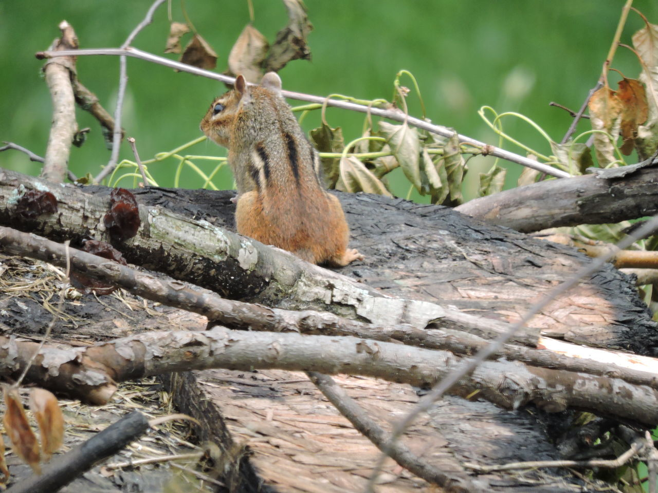 animals in the wild, animal themes, animal wildlife, no people, day, outdoors, one animal, nature, squirrel, branch, close-up, mammal, tree