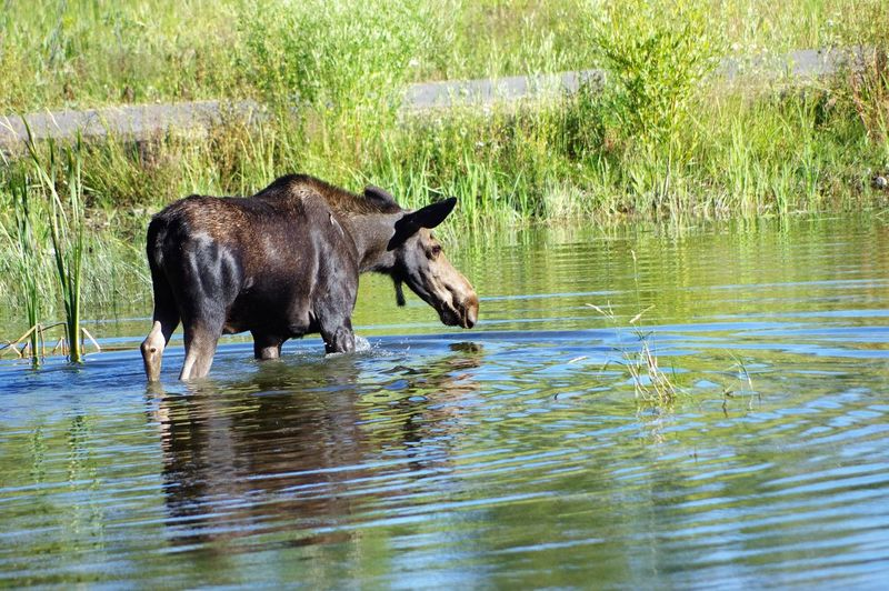Moose walking in lake at jackson hole