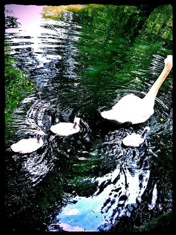 Water_collection Swans Wood Sea