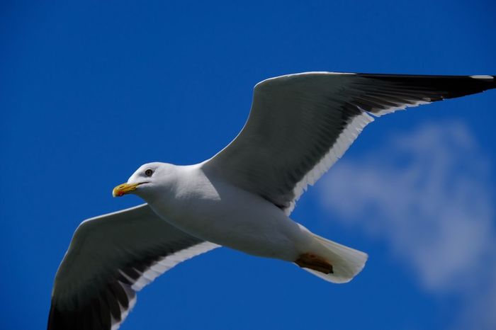 Seagul caught in air Copy Space Seagul Bird Vertebrate Animals In The Wild Animal Themes Animal Animal Wildlife Low Angle View No People White Color Sky Nature Beauty In Nature Blue Seagull Clear Sky One Animal Flying Day Outdoors Spread Wings