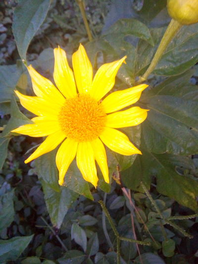 At 05:30 in the morning, PH. Beauty In Nature Blooming Day Freshness Nature Outdoors Petal Plant Sunny Flower. Yellow First Eyeem Photo
