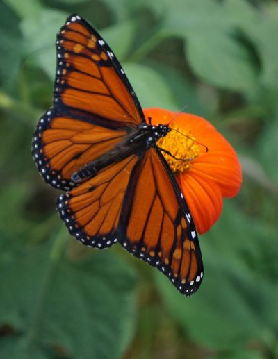 High Angle Close-Up Of Butterfly On Orange Flower