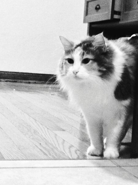 Cat Pet Perfect Model