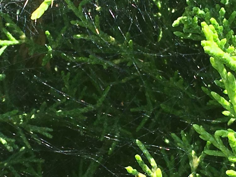 Oh What A Tangled Web We Weave.. Growth Green Color Leaf Nature Plant Freshness No People Close-up Outdoors Day Beauty In Nature Fragility Water Tree Web