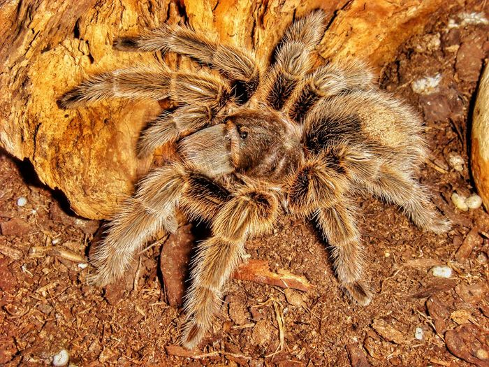 Tarantula Bird Spider Spider Spiders Brachypelma Rosea No People Backgrounds Close-up Animal Themes Animal Spinne Vogelspinne Hairy  Nature Vogelspinne Pet Portraits