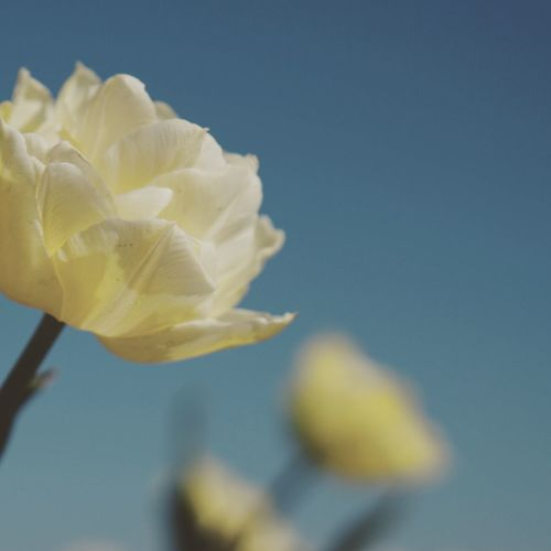 Close-up of yellow rose flower against sky