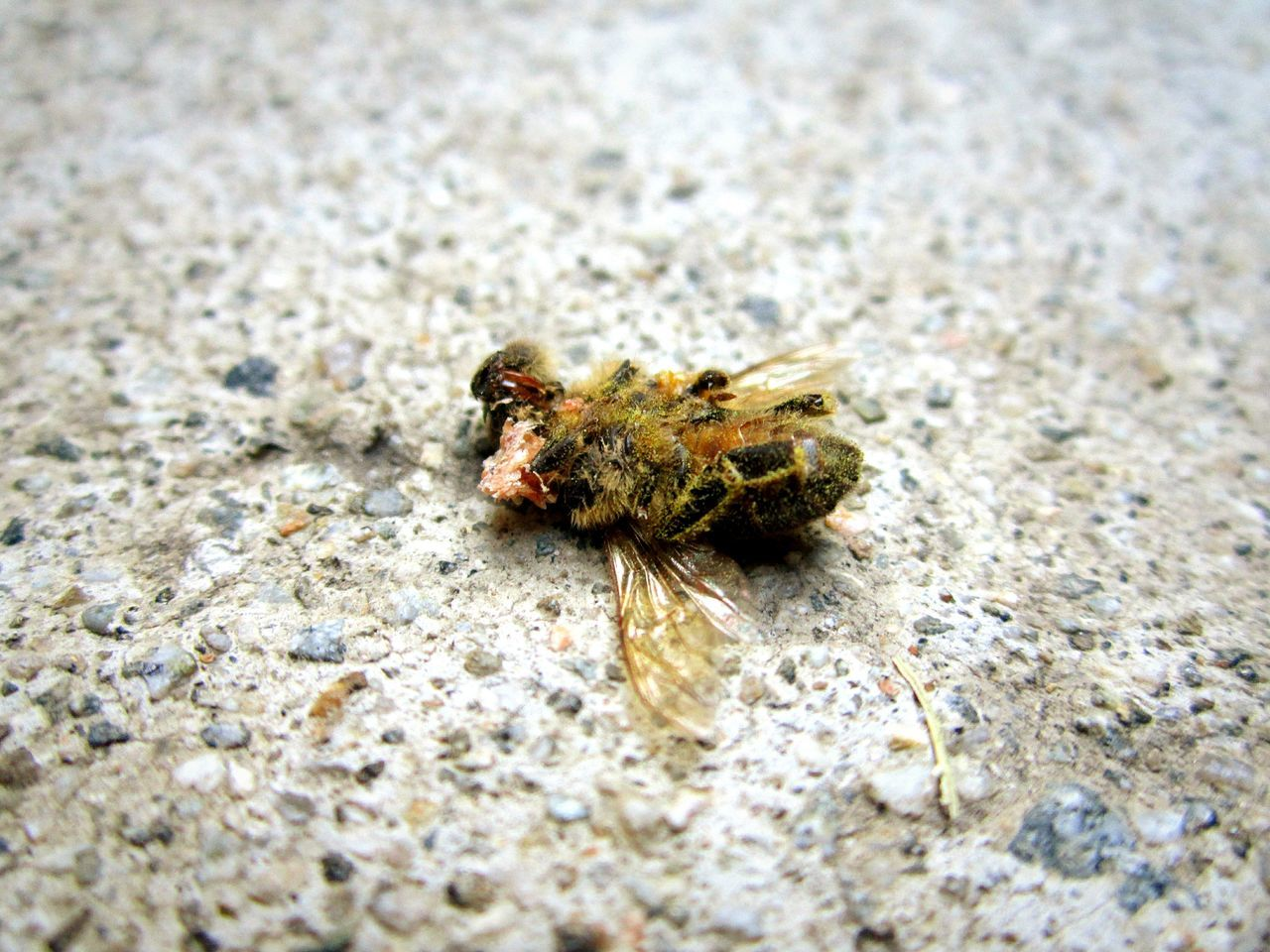 Close-Up Of Dead Bee On Rock