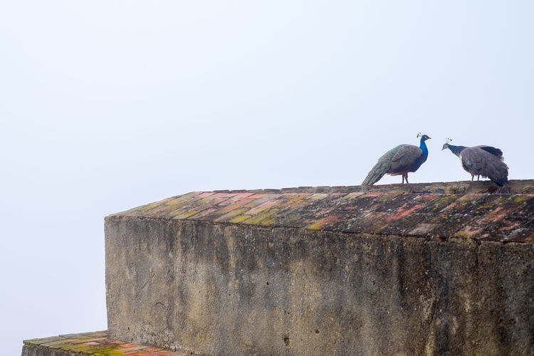 Peacocks on the edge of the Castle Wall on a foggy morning. Animals In The Wild Bird Animal Wildlife Animal Themes Perching Animal Day Sky Clear Sky Copy Space No People Group Of Animals Nature Architecture Two Animals Wall Wood - Material Wall - Building Feature Outdoors Peacock Castle Walls Foggy Morning