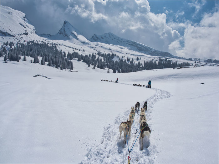 View of sleddogs on snow covered field against sky