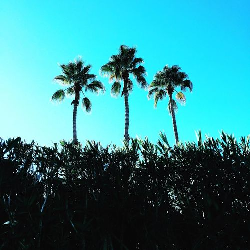 3 PALMS Palm Tree Nature Clear Sky Beauty In Nature No People Sky Day Outdoors Traveling Travel Photography Photo Of The Day Travel Clay Hayner Photo Photography Travel Destinations Palm Springs Photooftheday ClayHaynerPhoto Low Angle View Beauty In Nature Exploring Art Art Is Everywhere Cali California