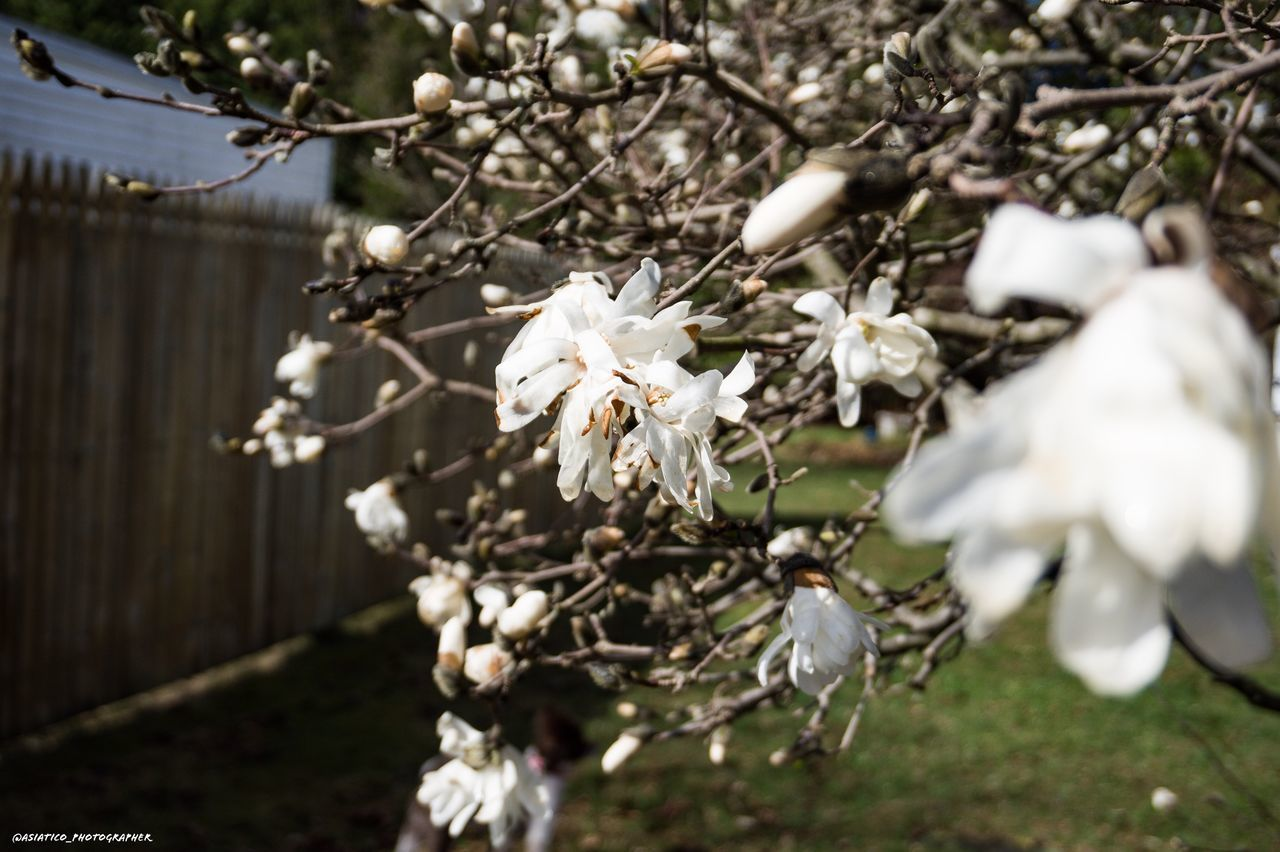 flower, flowering plant, plant, fragility, vulnerability, growth, freshness, beauty in nature, white color, tree, blossom, springtime, branch, close-up, petal, no people, nature, day, selective focus, focus on foreground, flower head, outdoors, cherry blossom, cherry tree, spring