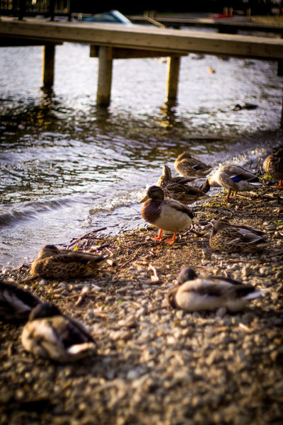 The Duck Family Duck Duck Family Harbor Lonlyness Shadow And Light Sunsey Warmth Feeling Waterside