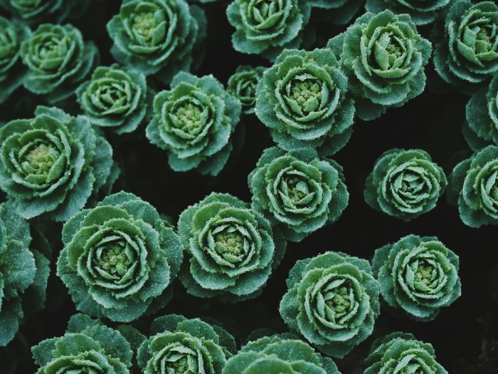 Rhodiola rosea Nature Leaf Leaves Spring Springtime Plant Life Plant Dew Biology Freshness Close-up Beauty In Nature Botany No People Green Color Directly Above Plant Part Succulent Plant Backgrounds Full Frame Natural Pattern