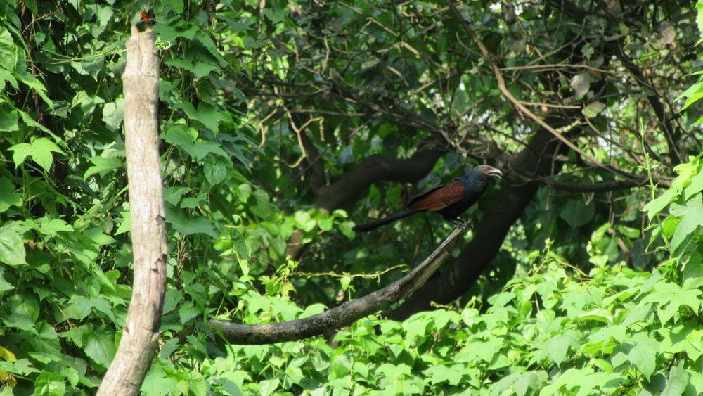 Greater Coucal [Centropus sinensis] Birds Bird Photography Bird Watching Nature Birds Of EyeEm  EyeEm Gallery EyeEm Birds Lover Bird EyeEm Birds Bird Lovers Bird Love Greater Coucal Coucal Coucal