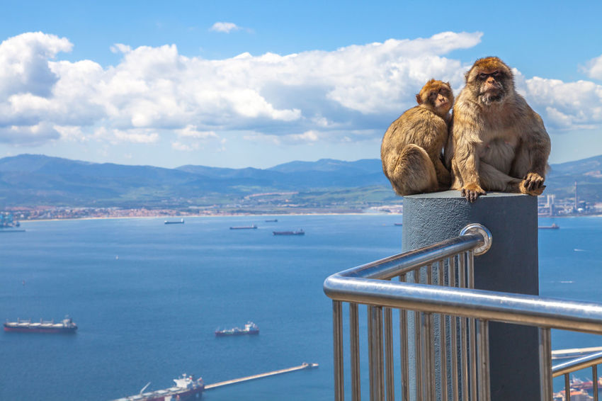 The famous wild macaques of Upper Rock Natural Reserve in Gibraltar Rock. Gibraltar is a British colony that is located at southern end of Iberian Peninsula. Gibraltar Ape British Cable Car Cityscape England, UK Iberian And Roman Civilisations Rock SPAIN Spanish United Kingdom Aerial View Animal Beach Blue Colony Of Ants England English Funicular Monkey Outdoors Sea Sky Skyscraper Upper Rock