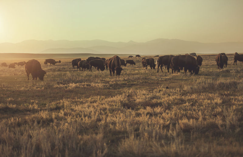 Large herd of american bisons moving along colorado prairie near town of fairplay,