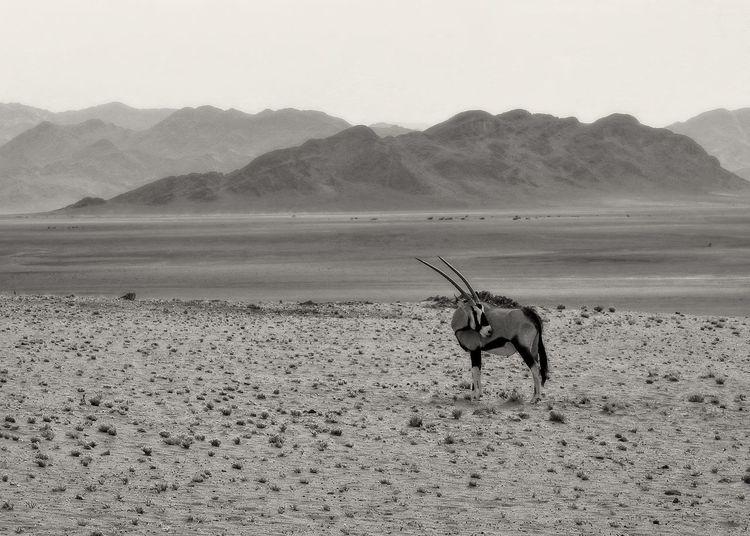 Isolated oryx antelope in the namib desert