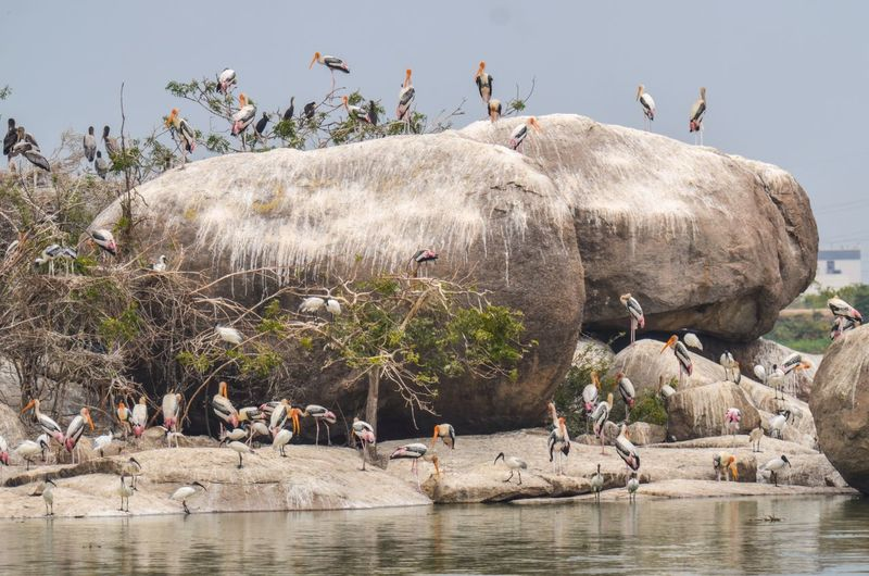 Storks Perching On Rocks By River