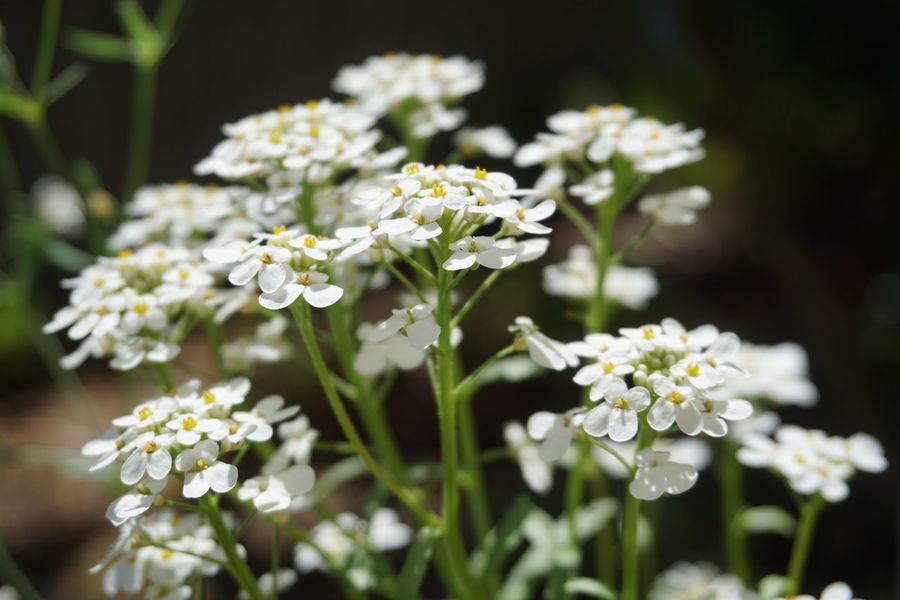 Small white flowers 4 petals Iberis Wildflower Flower Flower Head Photography Themes Plant Part White Color Summer Close-up Plant Blooming Plant Life In Bloom Flower Arrangement Botany Bunch Of Flowers Petal
