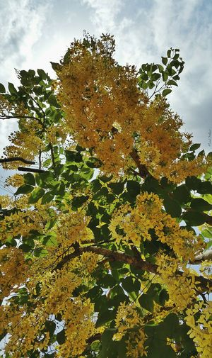 Nature Tree Growth Freshness Spring Spring! Spring Flowers Cassia Fistula Cassia Fistula; Cassia Flower Cassiagold Flowers,Plants & Garden Flowrrs And Plants Beauty In Nature Scenics Beauty In Nature Outdoors Low Angle View