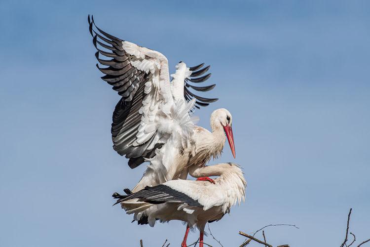 White stork mating
