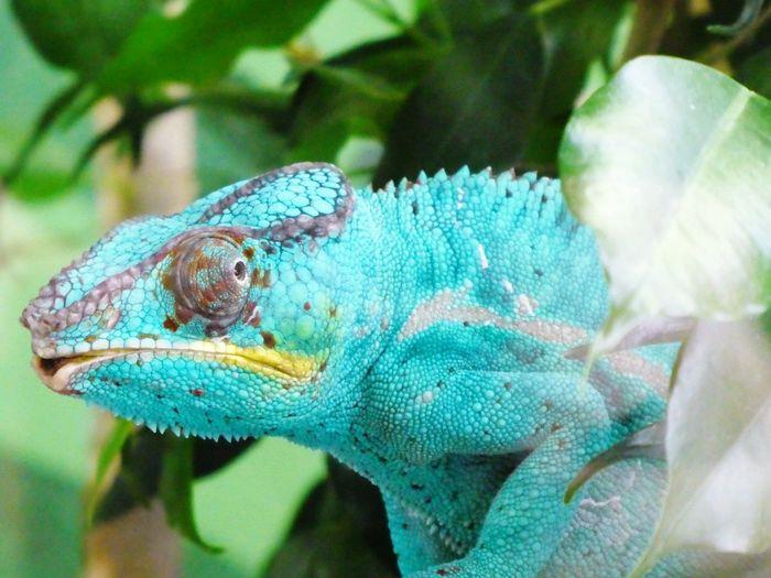 Chamäleon Reptile Iguana Tree Multi Colored Portrait Side View Close-up Plant