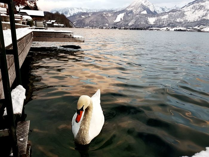 Snow Swan Swan Lake Swans On The Lake Stwolfgang Österreich Photography Photooftheday Picoftheday Photo Winter EyeEm Selects Water Sea Beach Nature Outdoors Day Landscape Beauty In Nature No People