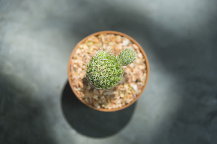 Cactus Small Background Succulent Nature Plant White Green Flower Garden Natural Pot Plants Desert Interior Close Botanical Decoration Thailand Growth Nobody Fresh Floral Grow Isolated House Macro Sharp Botany Closeup Home Flora Houseplant Pots Beautiful Botanic Color Pattern Summer Leaf Health Small Cactus