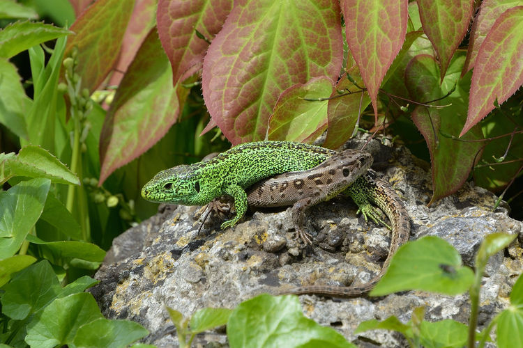 The Lizards Animal Wildlife Animals In The Wild Animal Themes Reptile One Animal Vertebrate Animal Lizard Plant Part Green Color Leaf Nature Plant No People Solid Day Rock Close-up Rock - Object Tree Outdoors Animal Scale Iguana