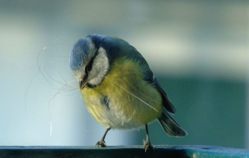 Close-up of eurasian blue tit perching on railing