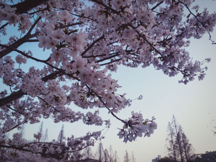 Twilight Cherry Blossom Tree Branch Beauty In Nature Flower Growth Blossom Clear Sky