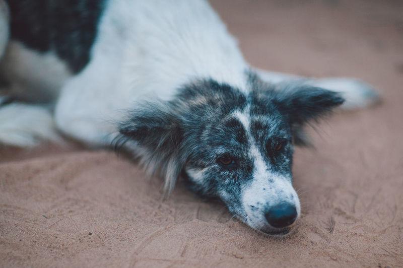 Siem Reap Cambodia One Animal Mammal Animal Themes Animal Domestic Dog Canine Pets Domestic Animals No People Relaxation Lying Down Close-up Focus On Foreground Animal Body Part Resting Portrait High Angle View Vertebrate Indoors  Animal Head  Purebred Dog