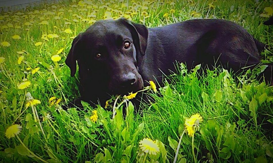 A year ago today this guy was brought into my life? Cooper :) Blacklab OneYearAgo Love ♥ EyeEm Animal Lover