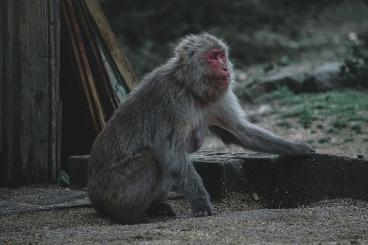 // shodoshima, japan // AMPt_community Japan Shootermag Thedarksquare ASIA EyeEm Best Shots EyeEm Selects Monochrome Animal Themes Animals In The Wild Animal Mammal Monkey Water Wildlife Nature Nature_collection Zoo Springtime Decadence