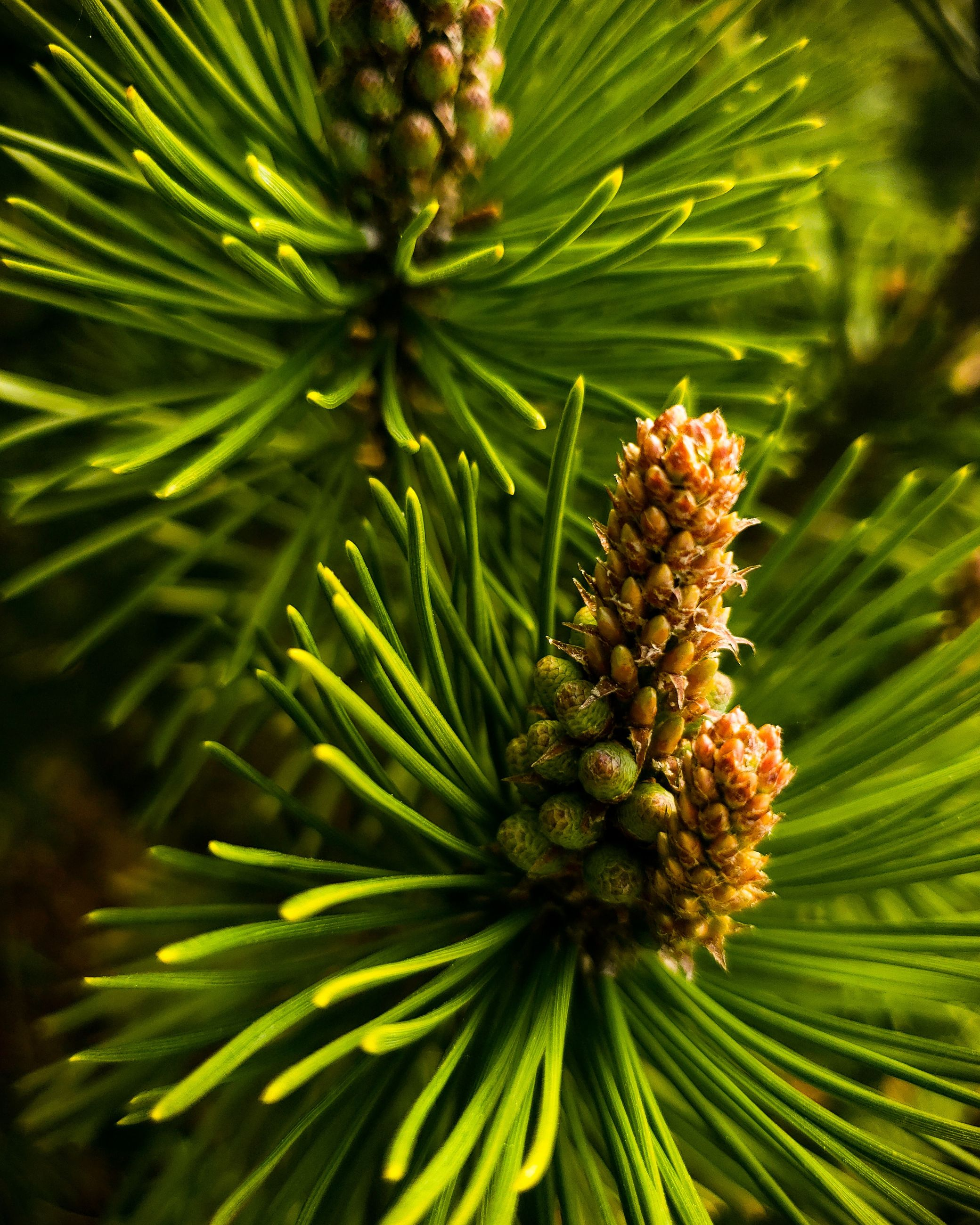 plant, growth, green color, pine cone, tree, no people, beauty in nature, focus on foreground, nature, close-up, pine tree, day, coniferous tree, branch, freshness, pinaceae, outdoors, needle - plant part, tranquility, selective focus